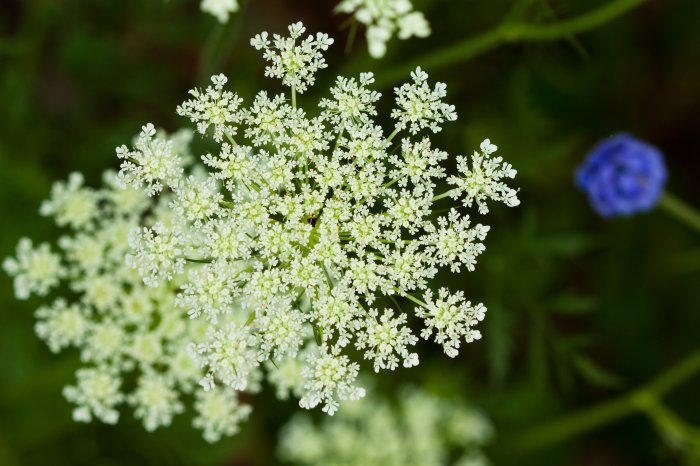 Queen_Anne's_Lace_(25468119510).jpg